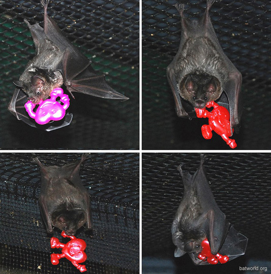 Bat World Sanctuary bats on Valentine's Day