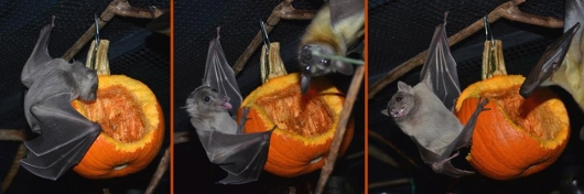 Bat World Sanctuary Boo2 bat Halloween pumpkin