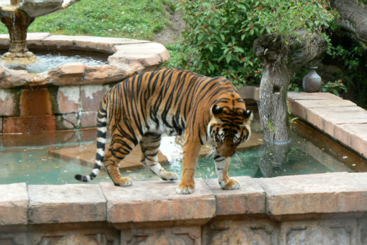 Tiger at Disney's Animal Kingdom (Photo by Brett Nachman)