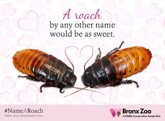 Bronx Zoo Name A Roach Madagascar Hissing Cockroaches for Valentine's Day 2016