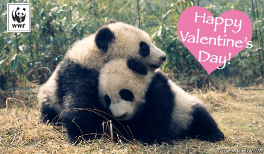 World Wildlife Fund Valentine's Day panda card